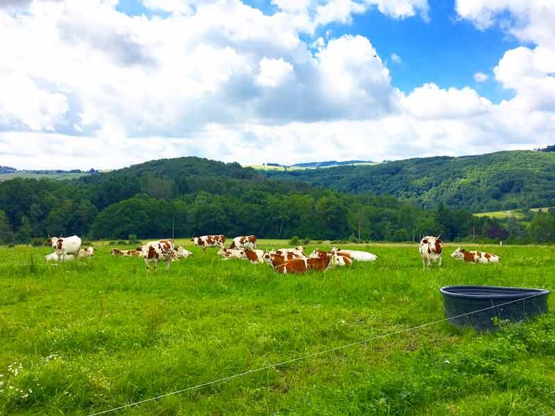Vaches Auvergne blog lifestyle